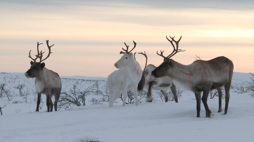 Troupeau de rennes en laponie lapland voir la vid o for Salon de la gastronomie rennes