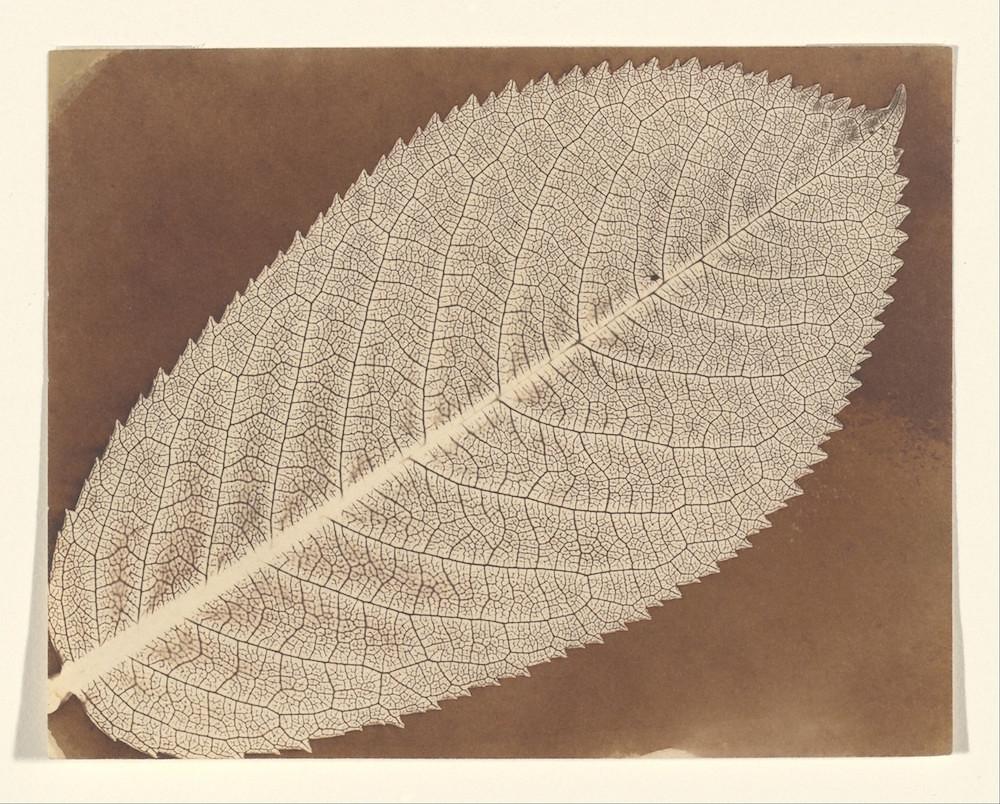 talbot leaf