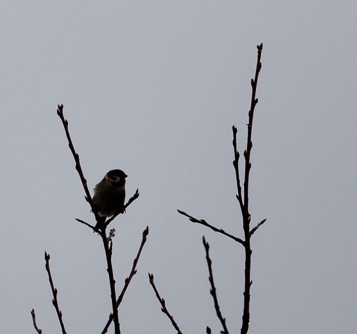 siluetti musta lintu talitintti