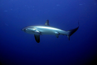 Thresher Shark, tiburón zorro o azotador | by _pak_