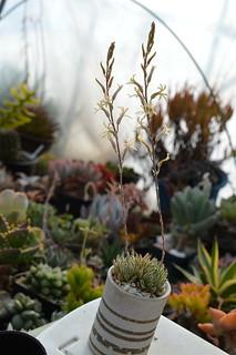 DSC_5541 Haworthia herbacea  ハオルチア ヘルバセア