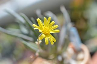 DSC_5524 Othonna carnosa  オトンナ カルノーサ