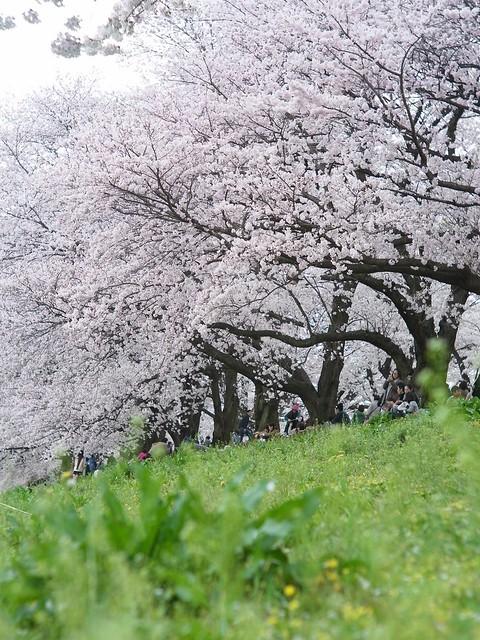Cherry Blossoms in Sewaritei 2 (GXR Mount A12 + Jupiter-3 50mm F1.5)