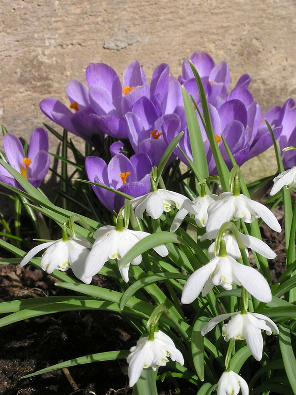 Galanthus nivalis 'Flore Pleno' & Crocus cv.