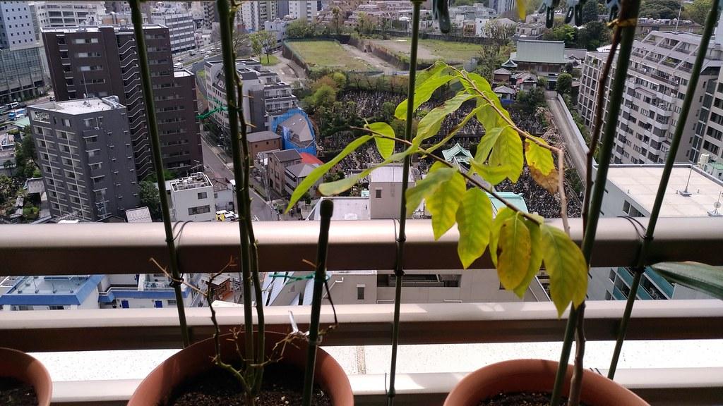 コブミカンと仏頭果鉢植え
