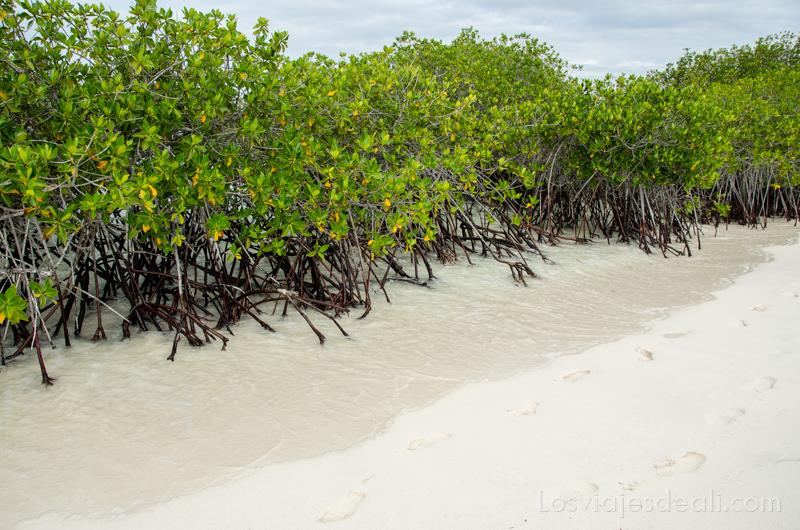 manglares en isla San Cristóbal