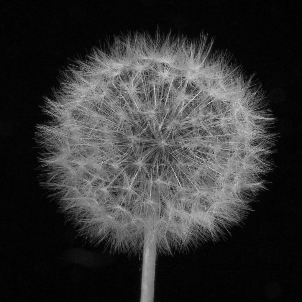 how to get dandelion kerispear