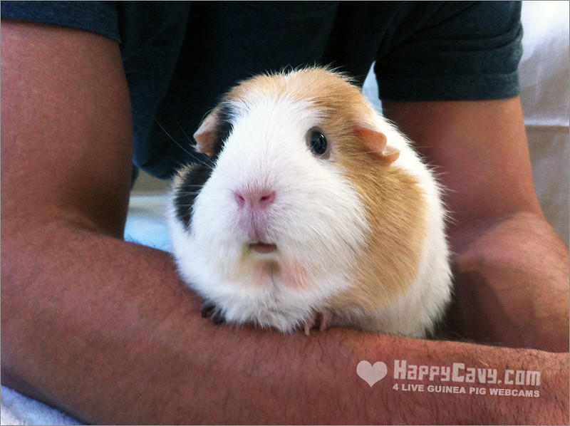 Guinea pig bonding with human buttercup the guinea pig for Free guinea pig stuff