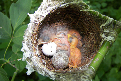 Red eyed vireo nest - photo#53