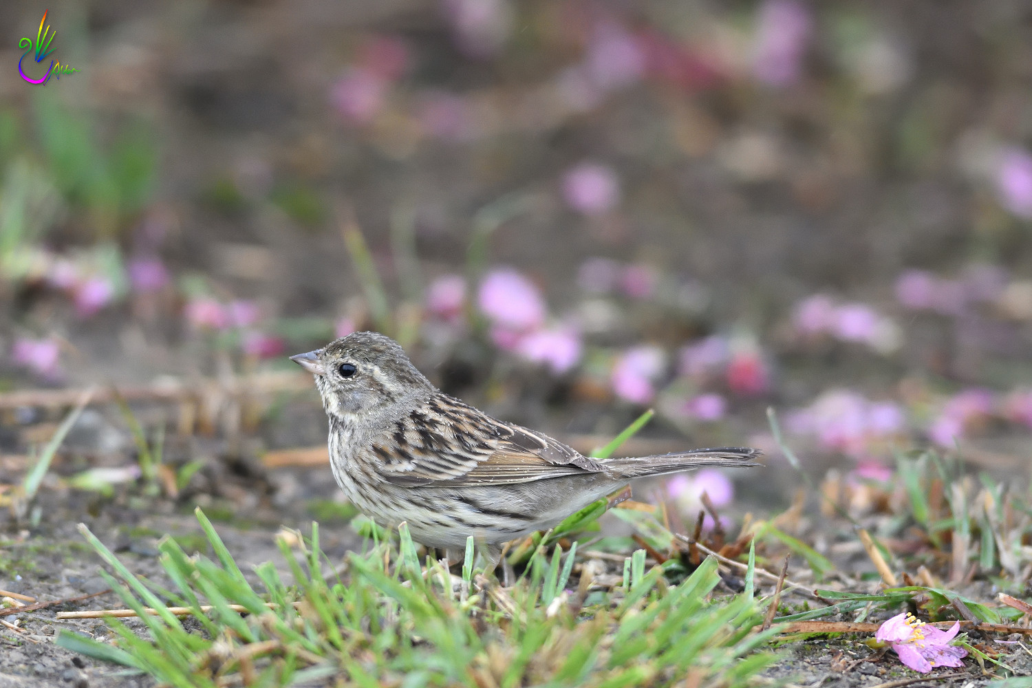 Black-faced_Bunting_7587