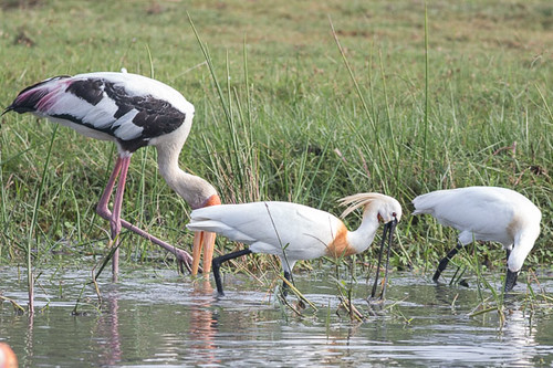 Eurasian Spoonbill and Painted Stork