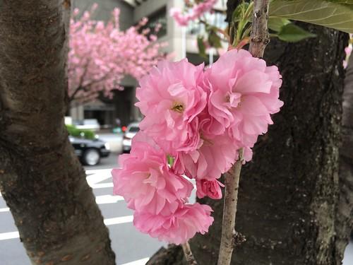 八重桜 2017.4.17