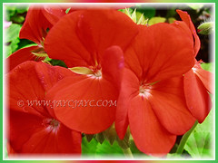 Lovely orangy-red flowers of Geranium (Cranesbills), 15 Aug 2014
