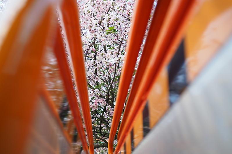 Sakura|淡水 天元宮