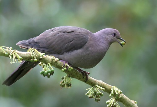 NE Brazil: Plumbeous Pigeon | by spiderhunters