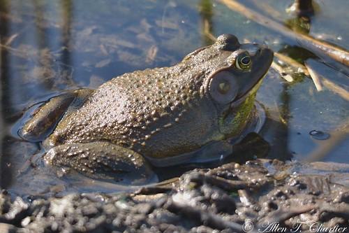 Rana catesbeiana (Bullfrog)