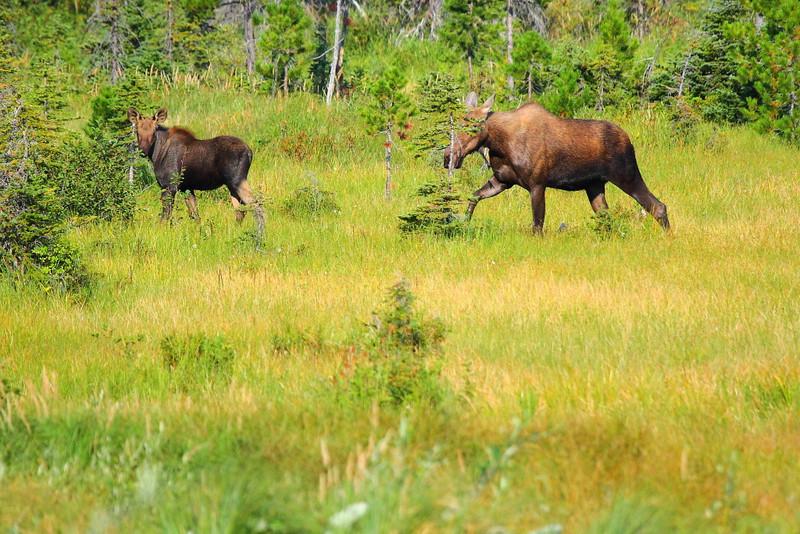 IMG_1997 Moose on Cobalt Lake Trail