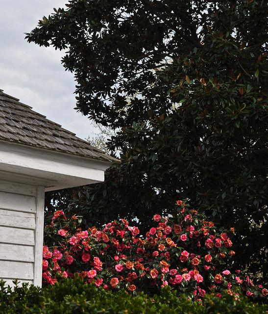 Eyre Hall - Camellia