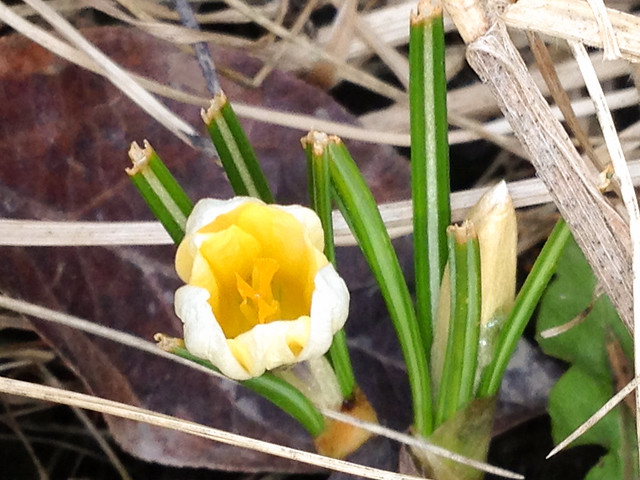 Krookuset kukkivat. Valokuvaaja: Markus Kauppinen
