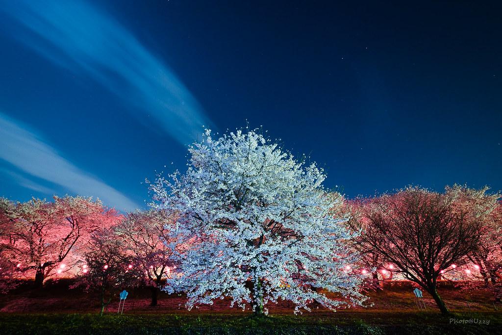Night cherry-blossom.