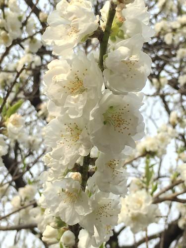 Peach blossom at Jindai Botanical Garden, Tokyo, Japan