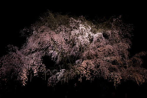 Rikugien weeping cherry blossoms 14RAW developed