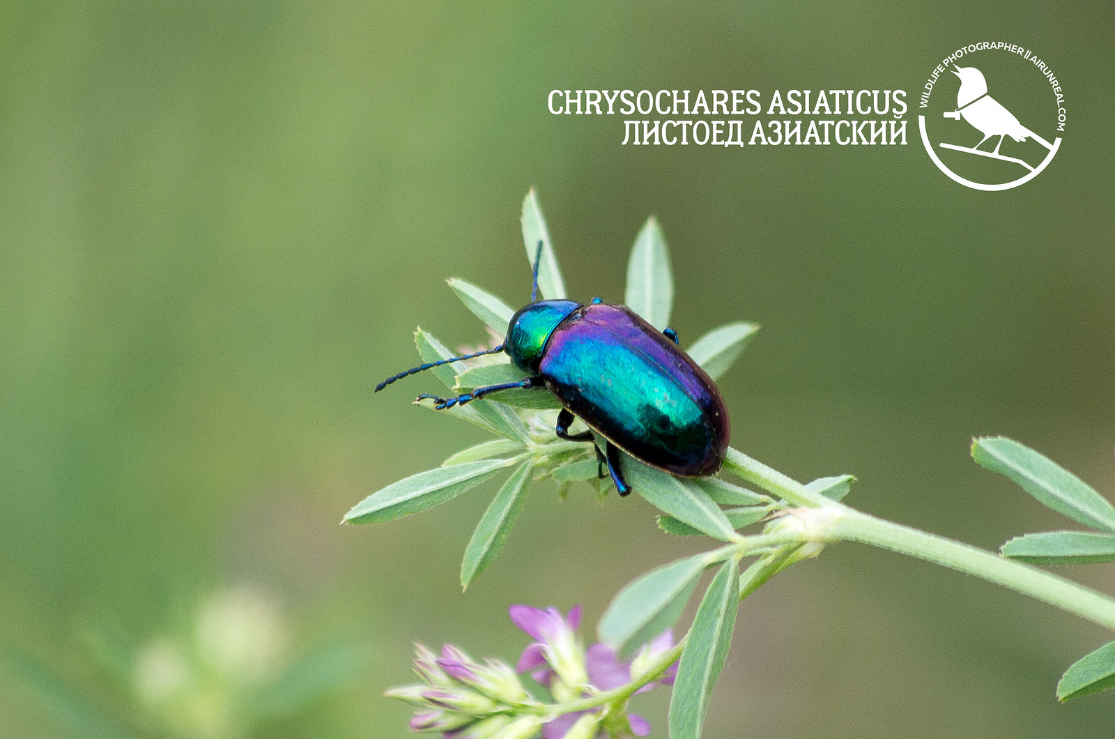 Chrysochares asiaticus // 08042017
