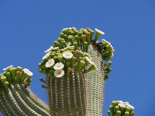Saguaro Blooming
