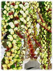 Beautiful cascading stems of Columnea scandens L. variegata (Goldfish Plant, Flying Goldfish Plant), 5 Aug 2011