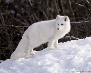 Artic Fox | by Eddiepics