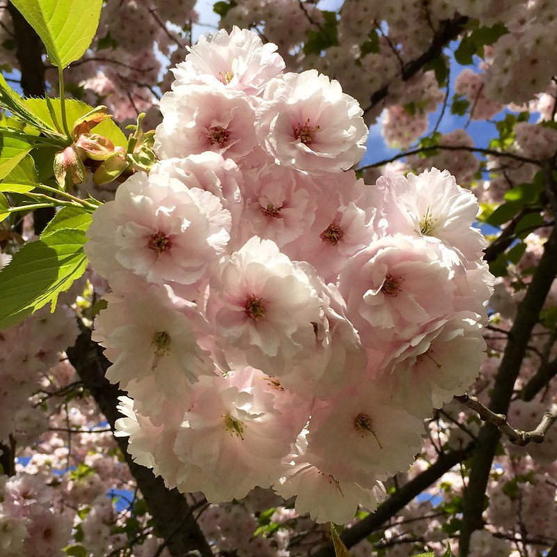 Regent's Park cherry blossom 2017
