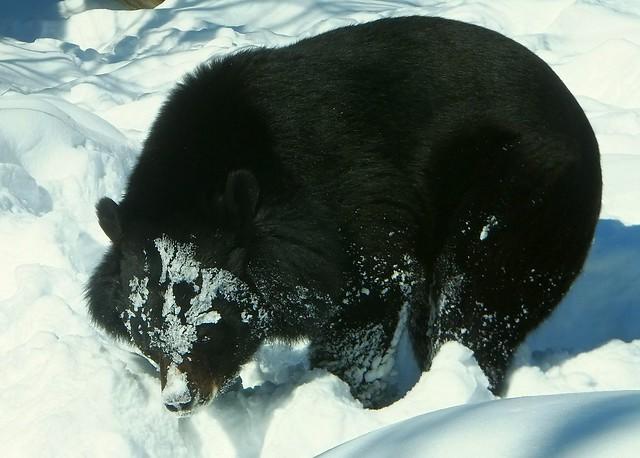 Bear_snow