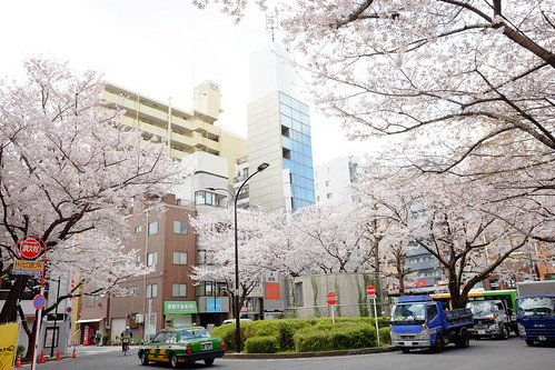 cherry blossoms at Komagome station