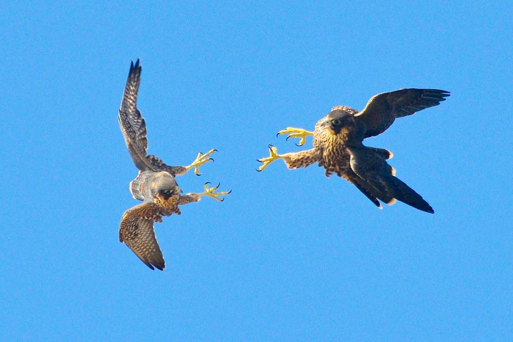 Peregrine Falcon Talons Peregrine Falcon Fledglings