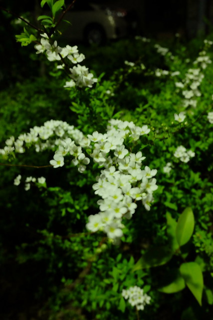 """Auto white balance"" Thunberg's meadowsweet"