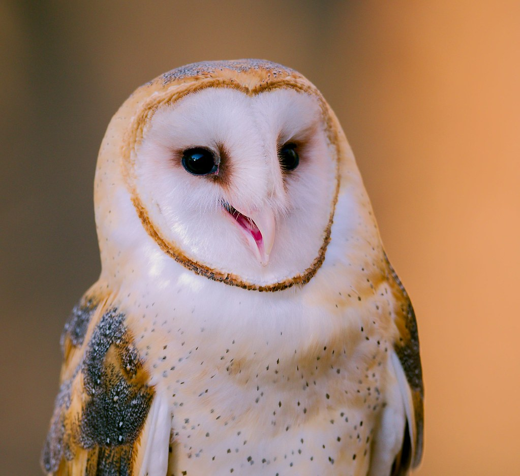 Barn Owl_5