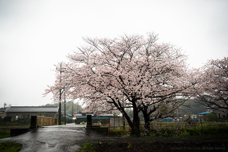 Sakura wet with rain