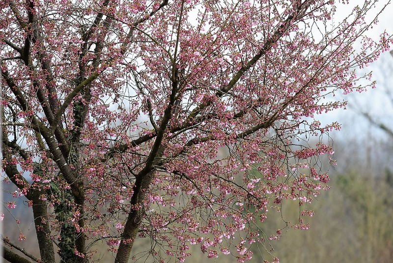 Japanese Cherry Tree 24.03.2017