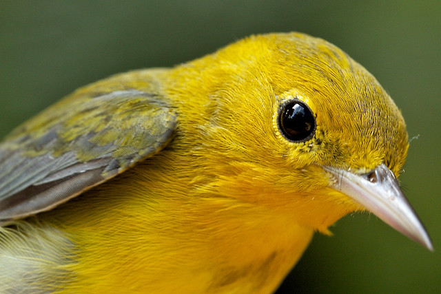 Prothonotary-Warbler-recapture