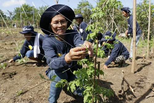 FAO and New Zealand restore agricultural livelihoods in Central Mindanao
