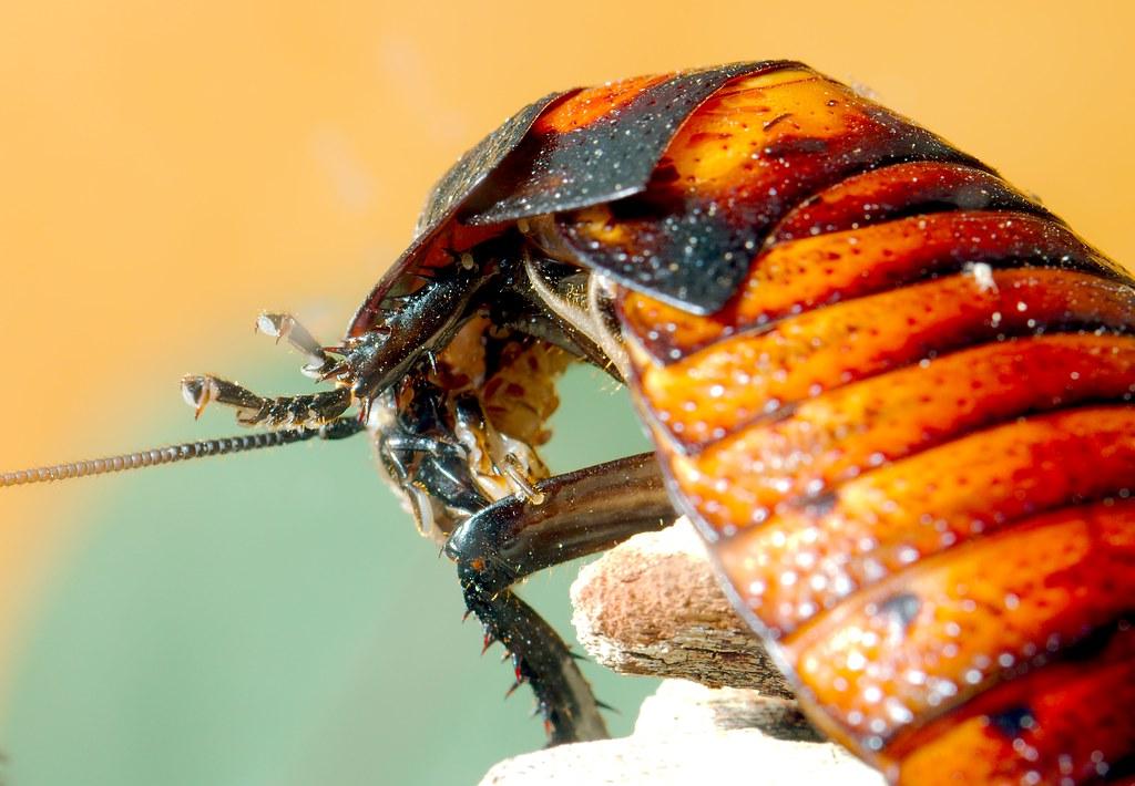 Madagascar Hissing Cockroach_1