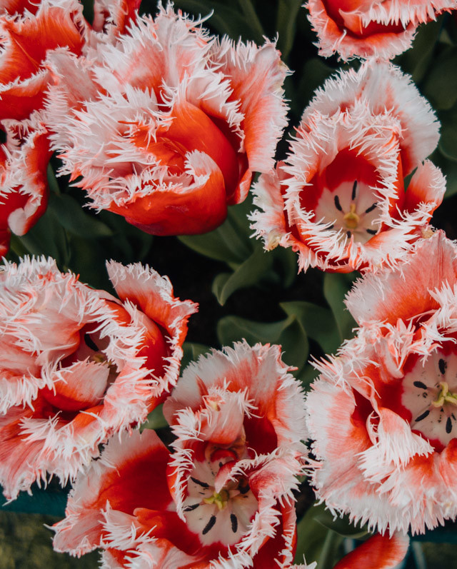 amazing red fringed tulips - RHS cardiff