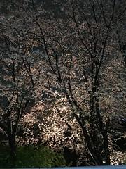 4月11日の夜桜