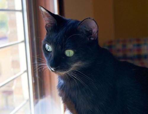 Morgana, gatita negra monísima, juguetona y tímida esterilizada, nacida en Julio´16, en adopción. Valencia. ADOPTADA. 34058735046_a94c20f70b