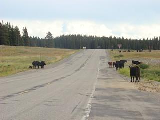 49 Koeien op weg