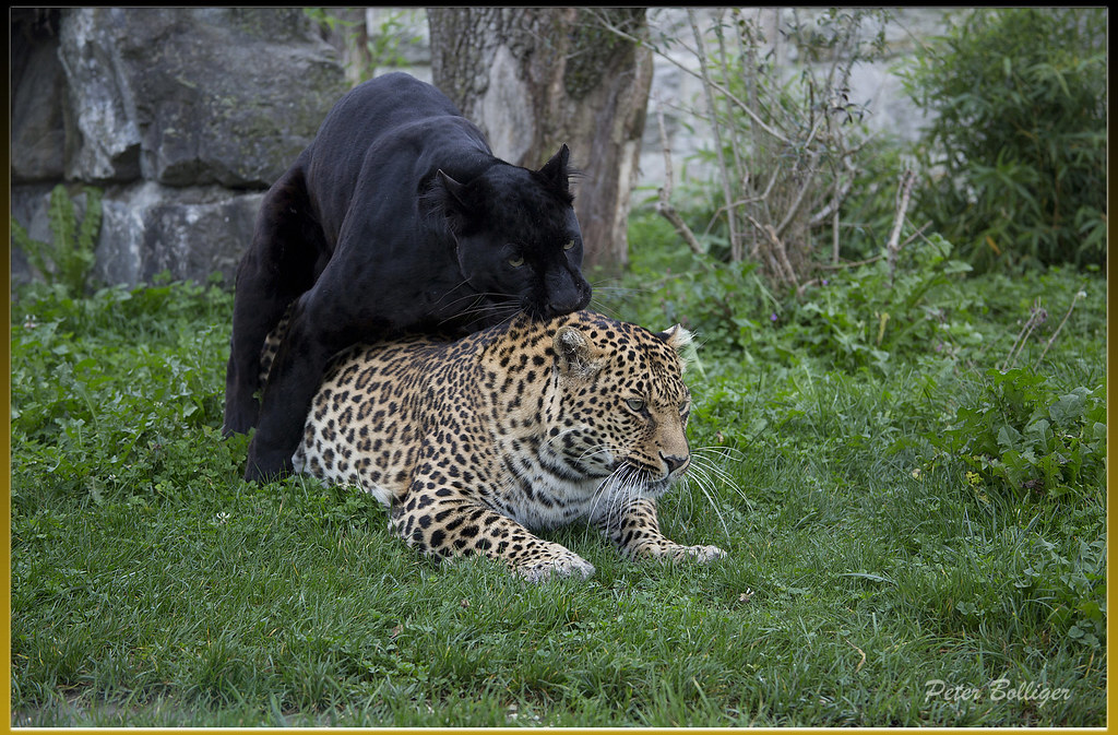 Leopards, Black and Panthers on Pinterest