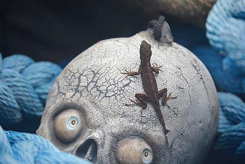 anole on skull