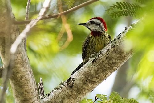 Cuba: Cuban Green Woodpecker