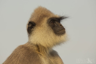 Tufted Grey Langur | by Ben Locke.
