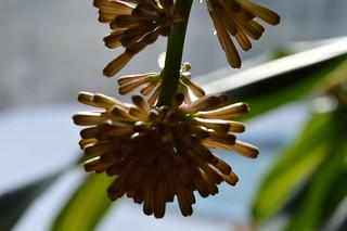 富贵竹,千年香木,龙血树